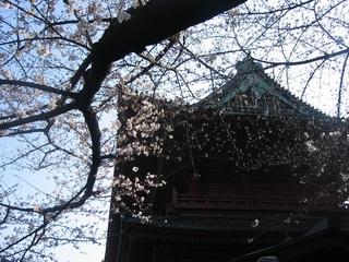 増上寺と桜.jpg