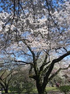 天空の桜.jpg