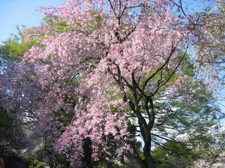 枝垂桜横位置.jpg
