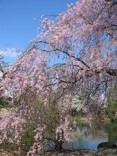 枝垂桜縦位置.jpg