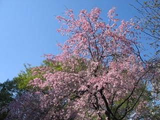 桜と青い空.jpg