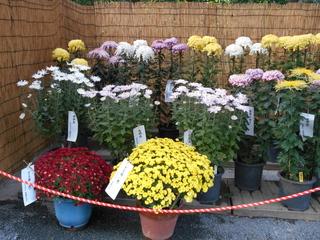 菊 鉢.JPG